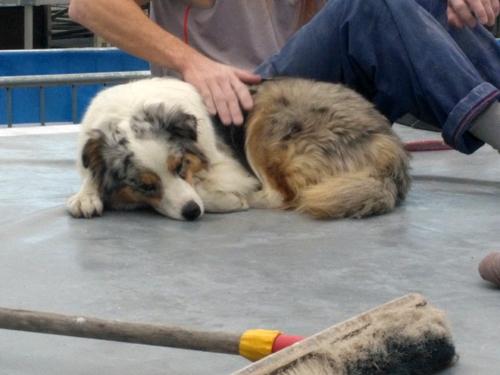 schrauber-hund