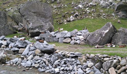 Auch die Ziegen scheinen die lauschige Atmosphäre im Sundergrund zu geniessen.
